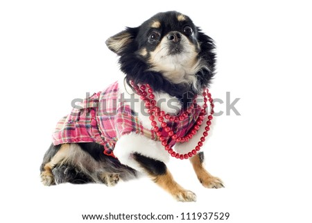 chihuahua dressed in front of white background - stock photo