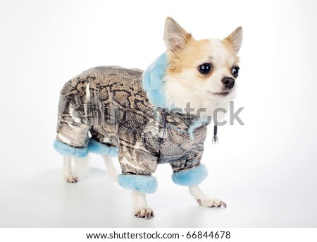 Chihuahua dressed in gold brocade winter coat with  snake skin pattern and blue artificial fur standing on white background - stock photo