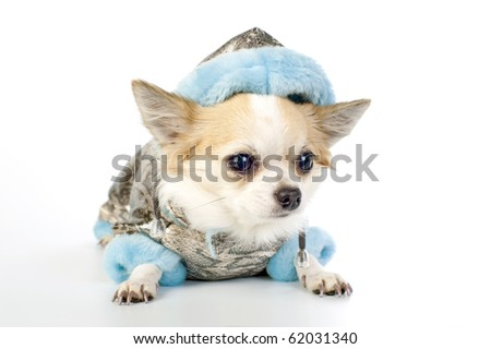 Chihuahua dressed in silver winter coat with blue artificial fur lying on white - stock photo