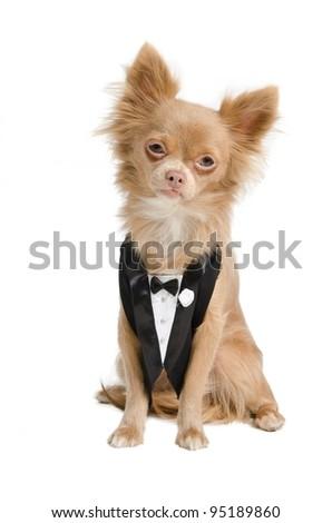 Chihuahua dressed like a bridegroom in tuxedo - stock photo
