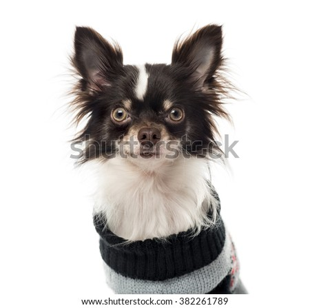 Chihuahua dressed looking at the camera, isolated on white (1 year old) - stock photo