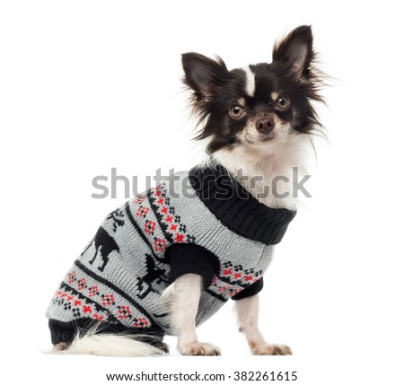 Chihuahua dressed, sitting and looking at the camera, isolated on white (1 year old) - stock photo