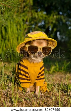 Chihuahua dressed with suit, straw hat nad glasses sitting in the summer garden