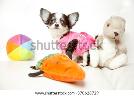 Chihuahua dressed with t-shirt - stock photo
