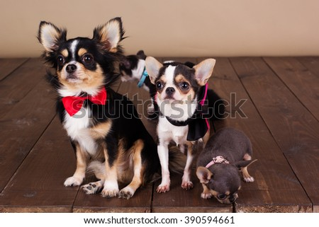 Chihuahua family are wearing dog-collar - stock photo