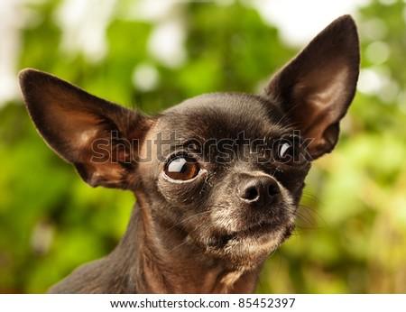 chihuahua head - stock photo