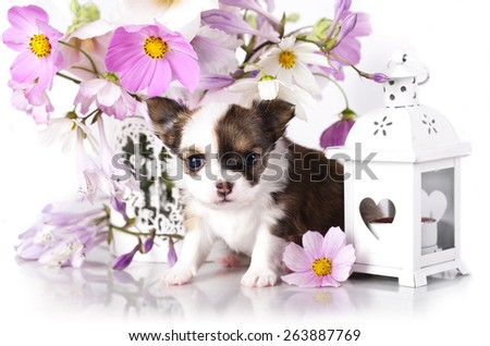 Chihuahua hua puppy and delicate flowers - stock photo