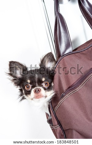 Chihuahua in a bag - stock photo