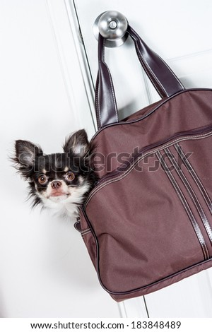 Chihuahua in a bag hanging on the door - stock photo