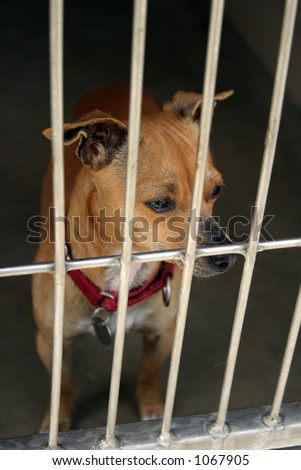 Chihuahua in a chage at the animal shelter waiting to be adopted