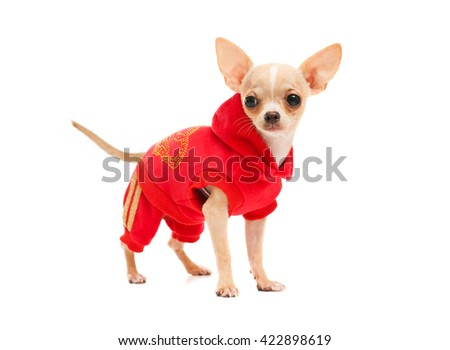 Chihuahua in a red suit isolated on white background