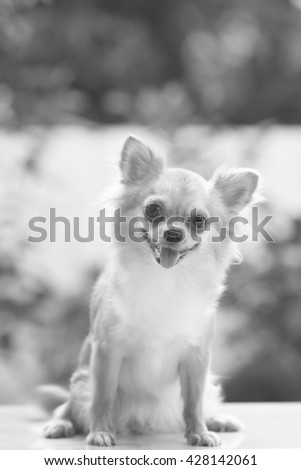 chihuahua in black and white - stock photo