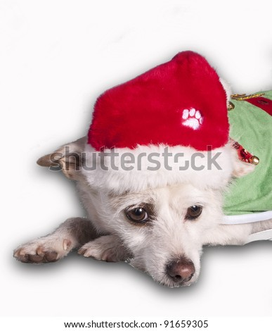 chihuahua in christmas costume - stock photo