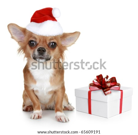 Chihuahua in christmas hat and with gift on a white background