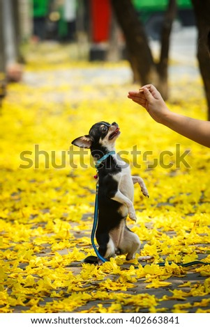 Chihuahua in flower gardens, dog, pet, chihuahua, nature. - stock photo