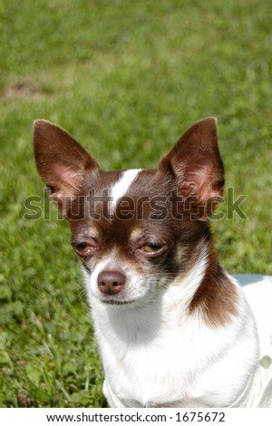 chihuahua in grass - stock photo
