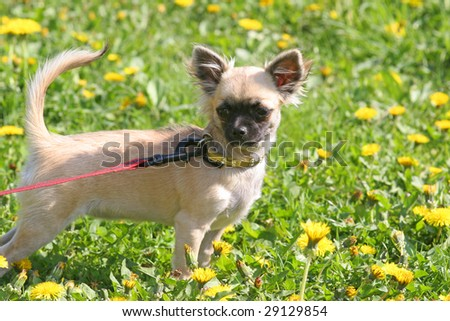 Chihuahua in grass