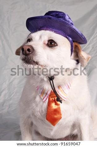 chihuahua in halloween costume - stock photo