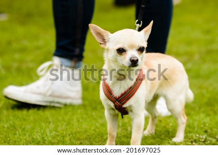 Chihuahua in harness on green lawn. Human feet in background. - stock photo