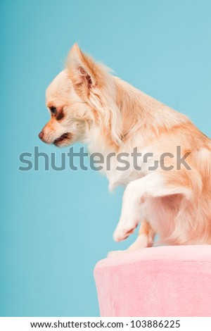 Chihuahua in pink basket isolated on blue background. Studio shot.