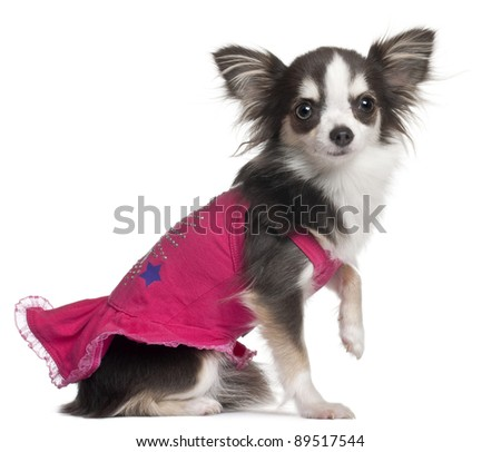 Chihuahua in pink, 1 year old, sitting in front of white background - stock photo