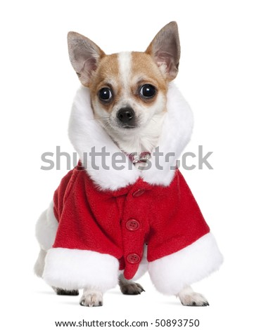 Chihuahua in Santa coat, 8 months old, sitting in front of white background