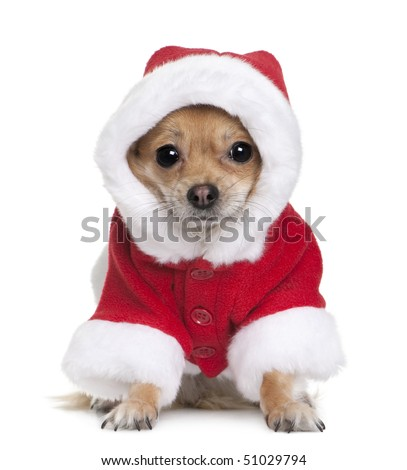 Chihuahua in Santa coat, 1 year old, sitting in front of white background - stock photo
