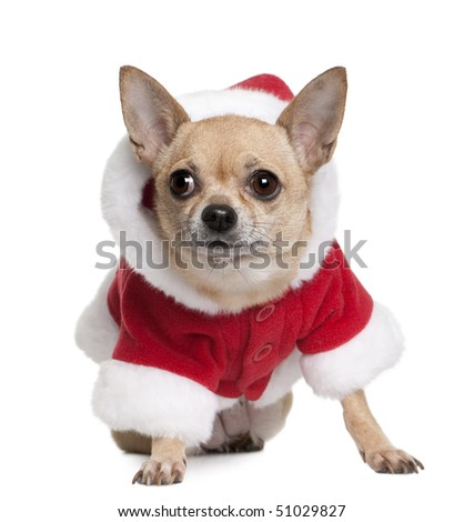Chihuahua in Santa coat, 6 years old, sitting in front of white background - stock photo