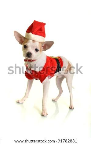 chihuahua in santa dress - stock photo