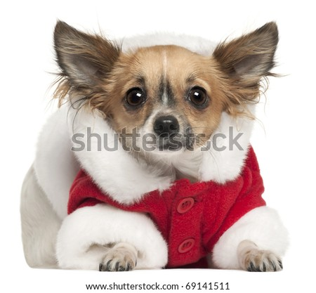 Chihuahua in Santa outfit, 1 year old, lying in front of white background - stock photo