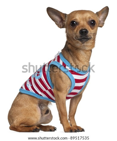 Chihuahua in striped shirt, 2 years old, sitting in front of white background - stock photo