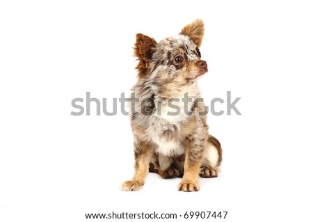 Chihuahua in studio in front of a white background