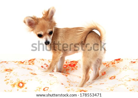 chihuahua in the bad isolated on the white background