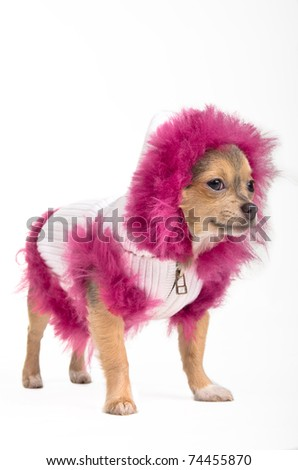 Chihuahua in winter jacket and fluffy hood looking aside - stock photo