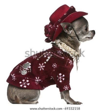 Chihuahua in winter outfit, 7 years old, sitting in front of white background - stock photo