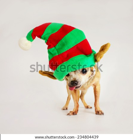 chihuahua isolated with santa hat covering one eye with tongue out (shallow depth of field) - stock photo