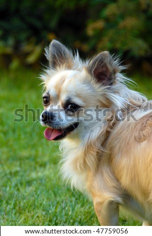 CHIHUAHUA laughs - stock photo