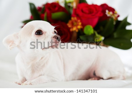 Chihuahua lies on bedding against bunch of flowers, focus on eye and nose - stock photo