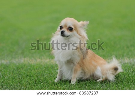 Chihuahua longhaired dog portrait - stock photo