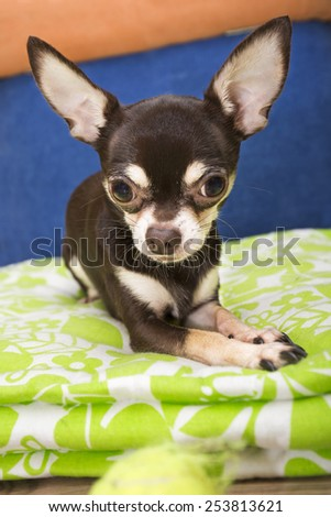 Chihuahua look on ball - stock photo