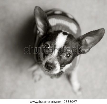 Chihuahua looking at camera - stock photo