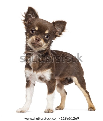 Chihuahua looking at camera against white background - stock photo