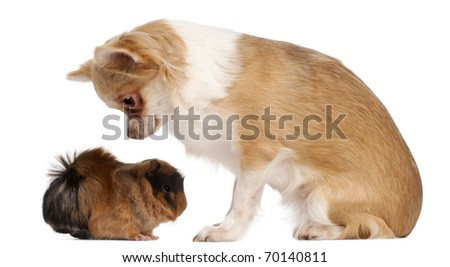 Chihuahua looking at guinea pig in front of white background - stock photo