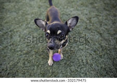 Chihuahua looking up at camera - stock photo
