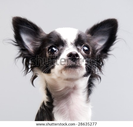 Chihuahua looking up with interest - stock photo