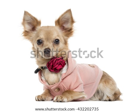 Chihuahua lying down and looking at the camera, isolated on white - stock photo