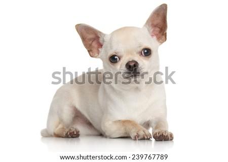 Chihuahua lying on white background - stock photo