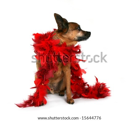 chihuahua mix in with a red boa on - stock photo
