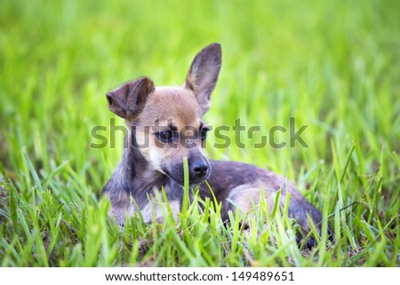 Chihuahua mix puppy with floppy ear, laying in the grass