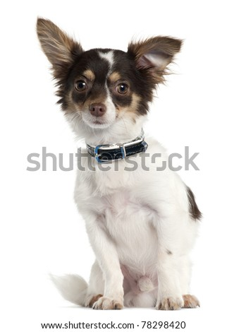 Chihuahua, 7 month old, sitting in front of white background - stock photo
